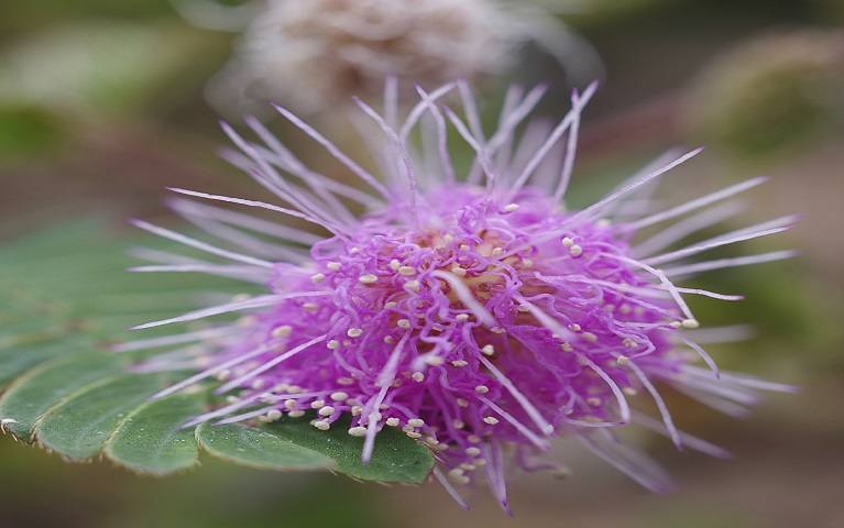 Close up of sensitive plant flower, Mimosa pudica
